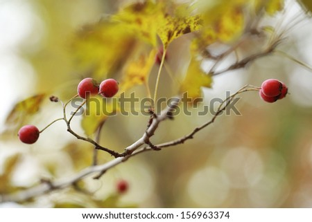 Autumn haw - stock photo