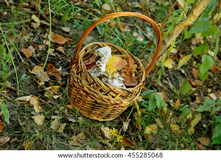 Autumn hike in the woods. Small brown wicker basket full of collected mushrooms is among the autumn grass. - stock photo