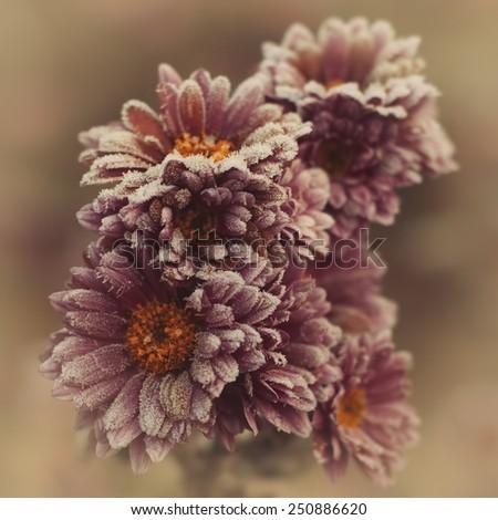 Autumn hoarfrost flowers - stock photo