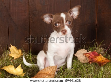 Autumn image with a chihuahua puppy dog on grass - stock photo