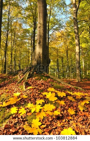 Autumn in beech forest- Poland