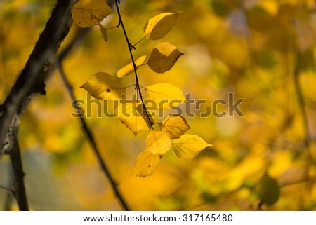 Autumn in the park: golden birch tree leaves in the sunlight - stock photo
