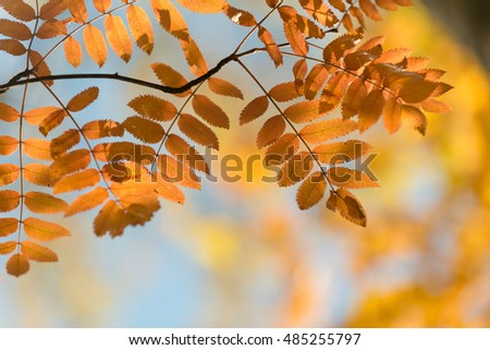 Autumn in the park: golden rowan tree leaves in the sunlight