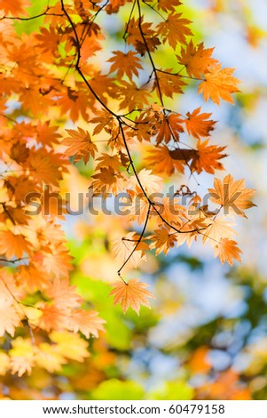 Autumn landscape. Bright colored maple leaves on the branches in the autumn forest. - stock photo