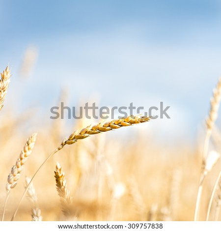 Autumn Landscape of Golden  Wheat Field with Blue Sky and White Clouds, selective focus, shallow DOF - stock photo