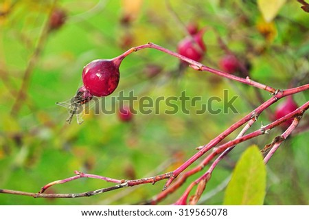 Autumn landscape -  red bright rosehip berry, shallow depth of field, focus at the central berry - stock photo