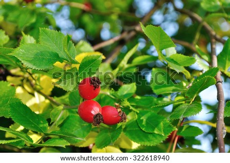 Autumn landscape -  ripe bright rosehip berries in sunlight, shallow depth of field, focus at the berries - stock photo