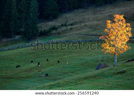Autumn Landscape with cows and golden tree. Carpathians mountains, Ukraine, Europe - stock photo