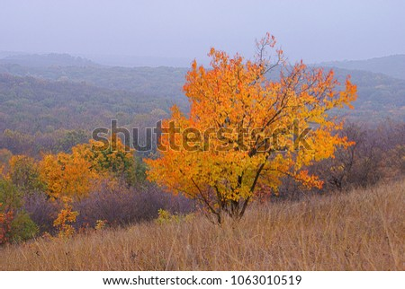 Autumn landscape with tree and forest at hills in fog. Bright yellow tree of apricot on slope close-up.