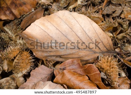 autumn leaf, beechnut shells