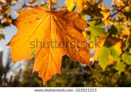 autumn leaf in the sunlight ready to fall