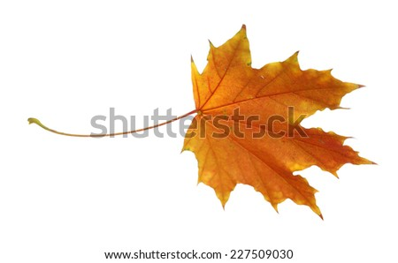Autumn leaf isolated on white - stock photo