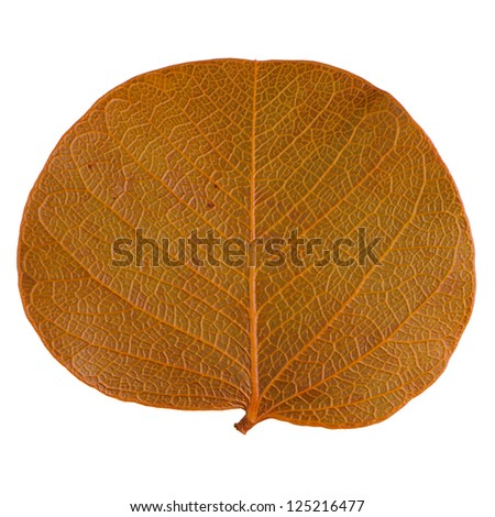 Autumn leaf isolated on white background.