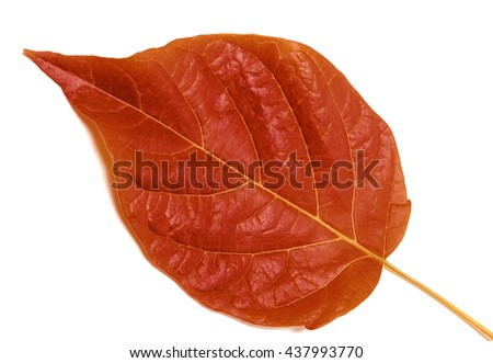 Autumn leaf isolated on white background. Close-up view. - stock photo