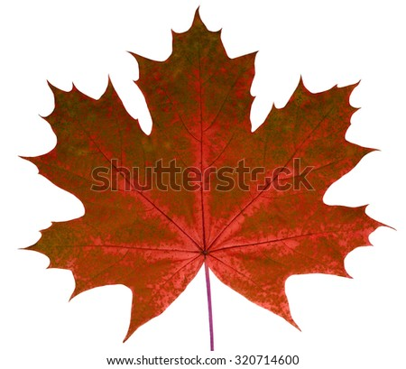 Autumn leaf  maple  on a white background isolated with clipping path.  Nature.  Closeup with no shadows. Macro. Indian summer. Red, green.   For design of cards and web sites about nature. - stock photo