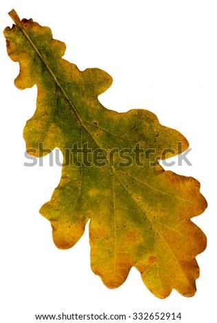 Autumn leaf. Oak. - stock photo