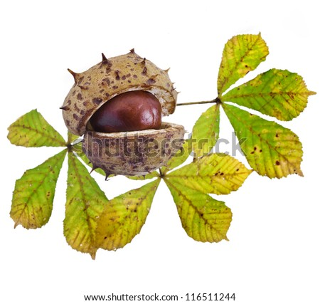 Autumn Leaf of horse chestnut tree and nut on a white background