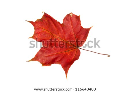 autumn leaf of maple isolated over white