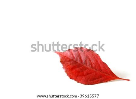 Autumn leaf on a white background - stock photo