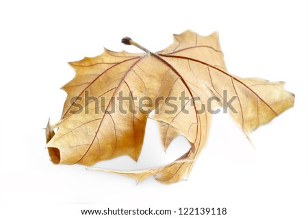 Autumn leaf, selective focus. Autumn maple leaf isolated on white background - stock photo