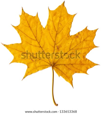 autumn leaf yellow maple - stock photo