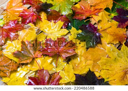 Autumn leaves after the rain - stock photo