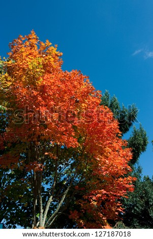 Autumn leaves against a perfect blue sky