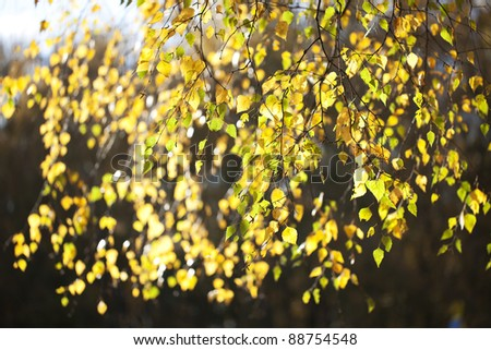 Autumn leaves are bright yellow birch, hanging on the thin branches - stock photo