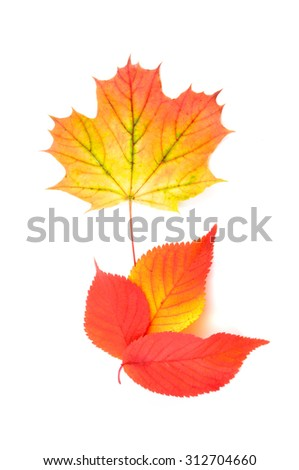 Autumn leaves.  Autumn leaves isolated on white background. Color Autumn leaves. Autumn leaves isolated. Autumn leaves background. Two autumn leaves. - stock photo
