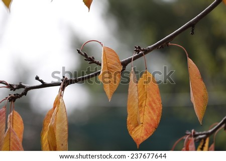 Autumn leaves. Autumn tree  - stock photo