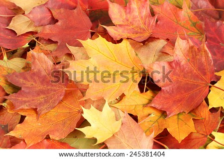 Autumn leaves background - dried maple leaves - stock photo