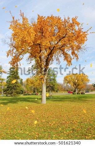 Autumn leaves blowing off tree in Edmonton, Alberta, Canada.