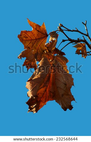 Autumn leaves isolated on a blue sky - stock photo