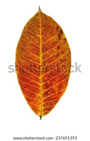 autumn leaves, isolated on white background