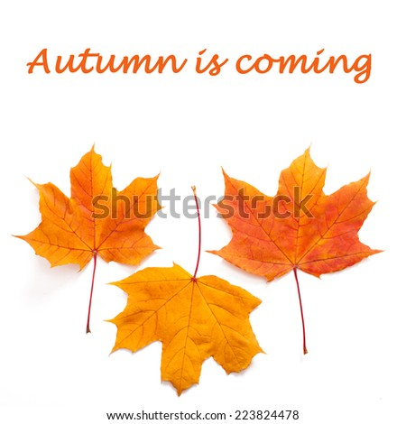 Autumn leaves maple isolated  - stock photo