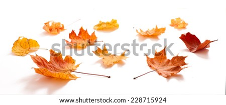 Autumn leaves maple isolated. Autumn golden leaves isolated   - stock photo
