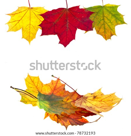autumn leaves maple isolated on white
