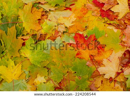 autumn leaves, multicolored background autumn theme - stock photo