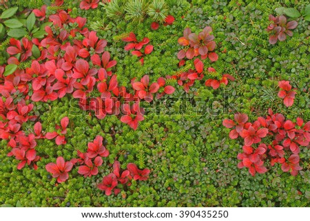 Autumn leaves of azalea