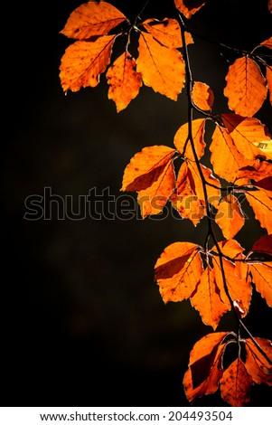 Autumn leaves of beech - stock photo