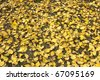 Autumn leaves of Ginkgo Montreal - stock photo