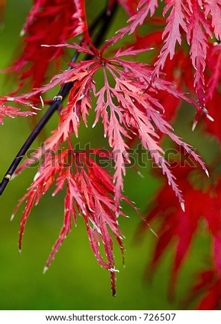 autumn leaves of japanese maple
