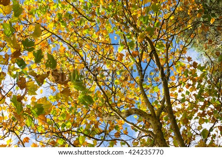 Autumn leaves of maple tree against sunny blue sky. Yellow foliage of fall season background, wallpaper. Looking up the tree canopy - stock photo