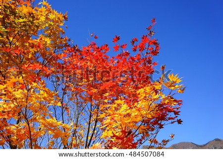 Autumn leaves of red and yellow