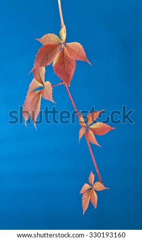 autumn leaves of vine on a blue background - stock photo