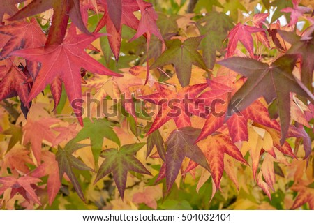 autumn leaves on a tree close-up