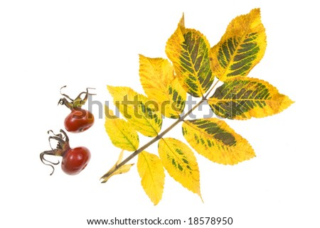 Autumn leaves on a white background. Close-up.