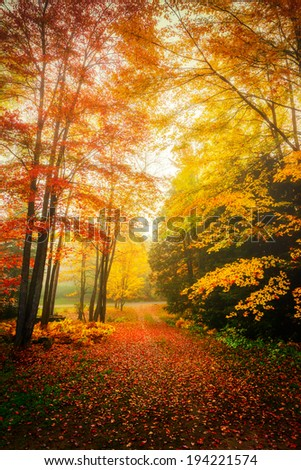 Autumn leaves on trees and on the ground on a misty day in the woods.  - stock photo