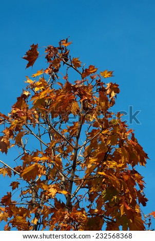 Autumn leaves on wood isolated on a blue sky - stock photo