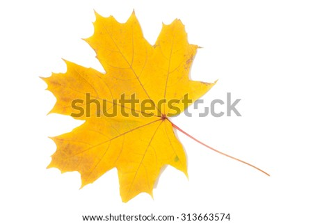 autumn leaves, photographed in the studio on a white background - stock photo
